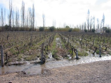 Winter flood irrigation at Nieto Senetiner vineyard, Lujan de Cuyo